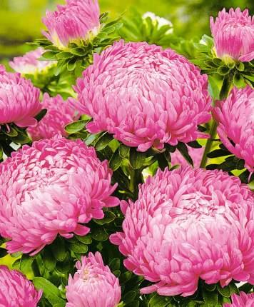 Семена Астра Королевский пион Розовый, 0,3 г Евро-Семена
