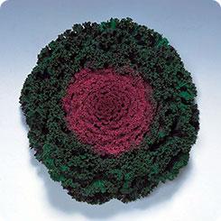 Семена Капуста декоративная Камоме Ред, 100 шт, Поиск