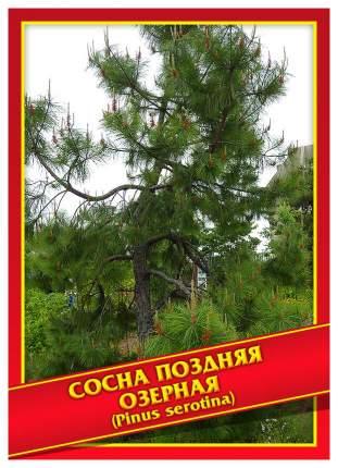 Семена Сосна Поздняя/Озерная, 3 шт, Симбиоз