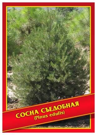 Семена Сосна Съедобная, 3 шт, Симбиоз