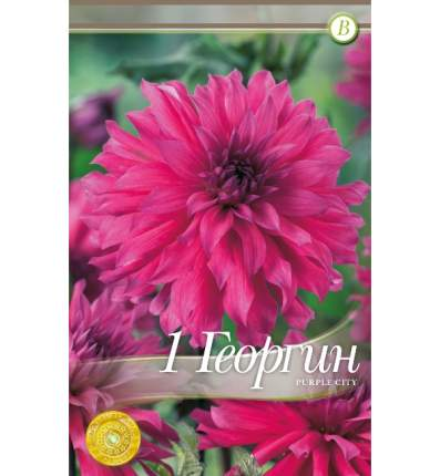 Семена Георгин кактусовый PURPLE CITY, 1 шт, Kebol