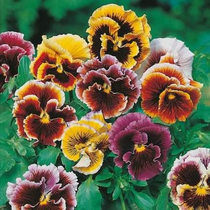 Семена Анютины глазки Викторианская смесь, 0,2 г Поиск