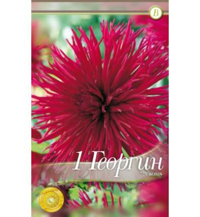 Семена Георгин кактусовый URCHIN, 1 шт, Kebol
