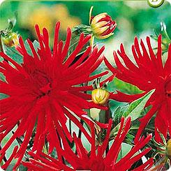 Семена Георгин бордюрный кактусовый RED PIGMY, 1 шт, Kebol