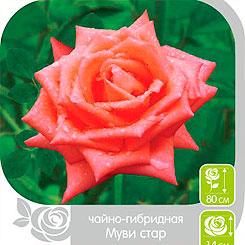 Семена Роза чайно-гибридная МУВИ СТАР, 1 шт, NEW Семена Алтая