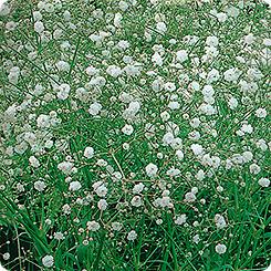 Семена Гипсофила метельчатая Снежные хлопья, 0,1 г Гавриш