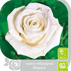 Семена Роза чайно-гибридная МАРУСЯ, 1 шт, NEW Семена Алтая