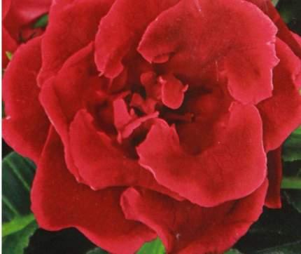 Семена Глоксиния махровая Брокейд Красная F1, 10 драже Престиж