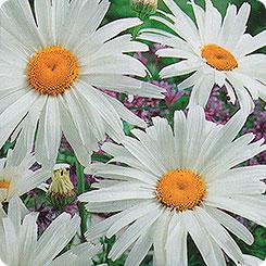 Семена Ромашка садовая Северная звезда, 0,3 г Русский огород