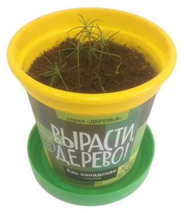 Набор для выращивания растений Зеленый Капитал Ель канадская голубая