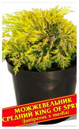 Семена Можжевельник Средний «King of Spring», 5 шт, Симбиоз