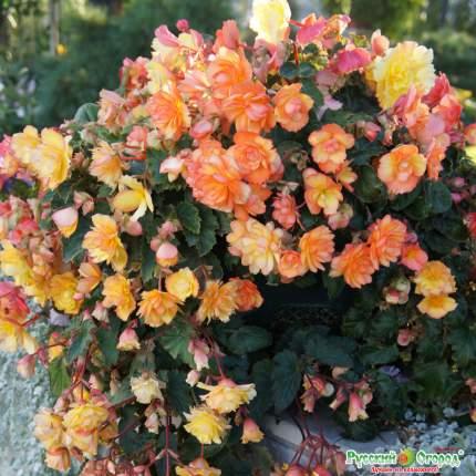 Семена цветов Русский огород 51963 Бегония клубневая Пикоти F1 Смесь 6 шт.