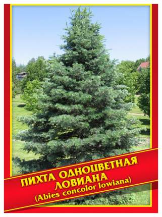 Семена Пихта Одноцветная Ловиана, 3 шт, Симбиоз