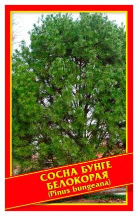 Семена Сосна Бунге/Белокорая, 2 шт, Симбиоз