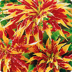 Семена Амарант трехцветный Иллюминация, 0,1 г Гавриш