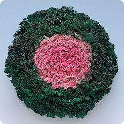 Семена Капуста декоративная Камоме Пинк, 100 шт, Поиск