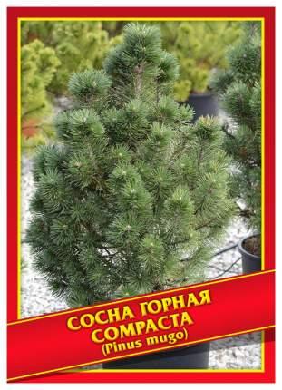 Семена Сосна Горная «Compacta», 5 шт, Симбиоз
