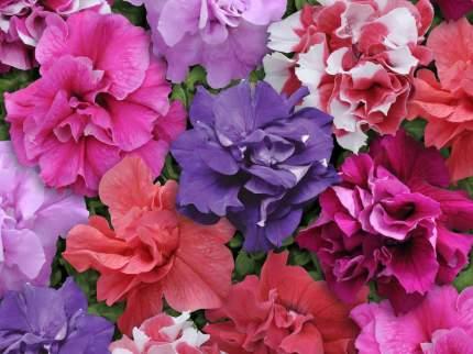 Семена Петуния махровая многоцветковая Бонанза F1, Смесь, 10 драже Плазмас