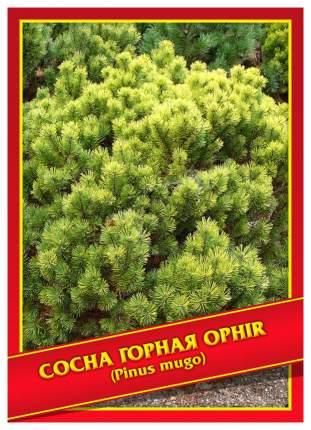 Семена Сосна Горная «Ophir», 5 шт, Симбиоз