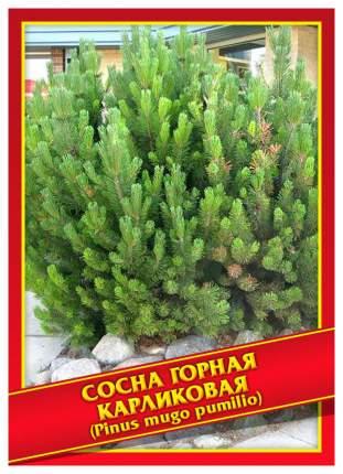 Семена Сосна Горная Карликовая, 5 шт, Симбиоз