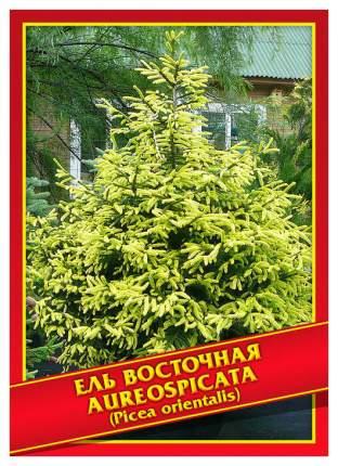 Семена Ель Восточная «Aureospicata», 10 шт, Симбиоз