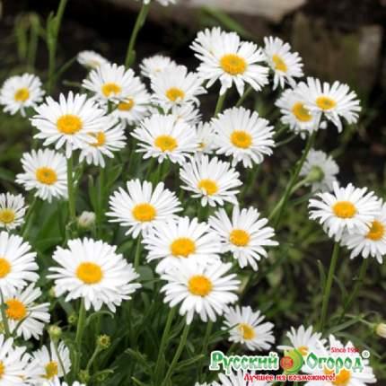 Семена Астра многолетняя альпийская Белые Альпы, 0,07 г Русский огород