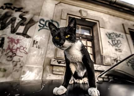 "Картина на холсте 70x50 см ""Кот с желтыми глазами"" Ekoramka HE-101-839"