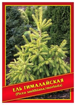 Семена Ель Гималайская,10 шт, Симбиоз