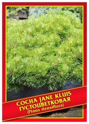 Семена Сосна Густоцветковая «Jane Kluis», 5 шт, Симбиоз