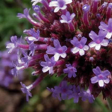 Семена Вербена бонарская Лиловый дождь, 0,1 г Плазмас