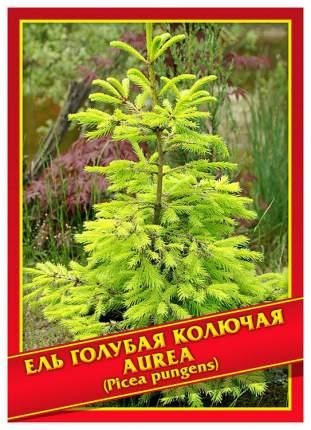 Семена Ель Голубая/Колючая «Aurea», 10 шт, Симбиоз