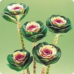 Семена Капуста декоративная Крейн Биколор, 250 шт, Поиск