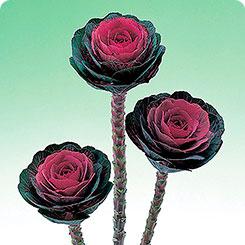 Семена Капуста декоративная Крейн Ред, 250 шт, Поиск