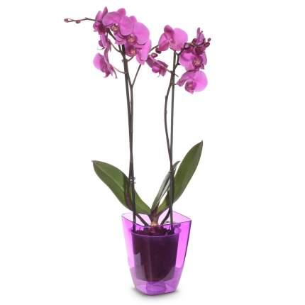 Орхидея Нежность