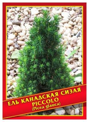 Семена Ель Канадская/Сизая «Piccolo», 10 шт, Симбиоз