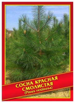 Семена Сосна Красная/Смолистая, 3 шт, Симбиоз