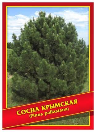 Семена Сосна Крымская, 5 шт, Симбиоз