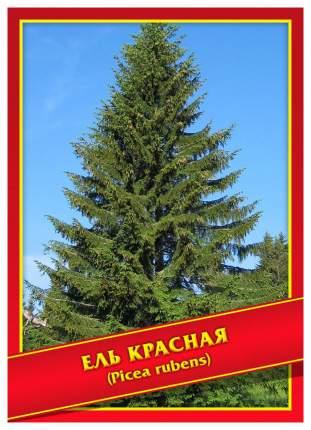 Семена Ель Красная, 10 шт, Симбиоз