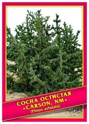 Семена Сосна Остистая, 3 шт, Симбиоз