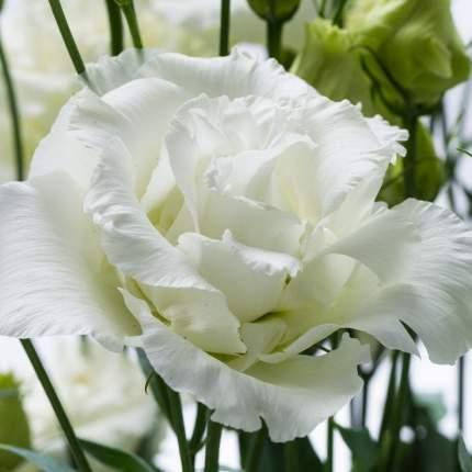 Семена Эустома Мэджик Белая F1, 10 гранул Профессиональная коллекция Плазмас