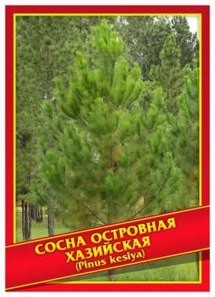Семена Сосна Островная/Хазийская, 5 шт, Симбиоз