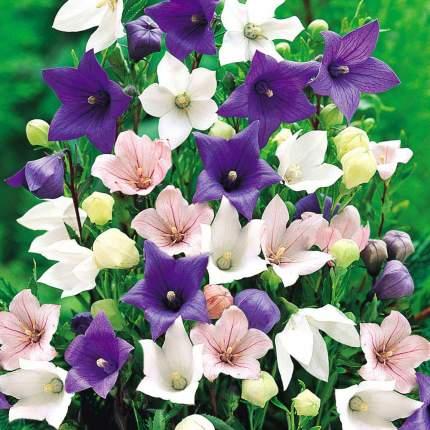 Семена Платикодон Фиджи, Смесь окрасок, 25 шт, Поиск