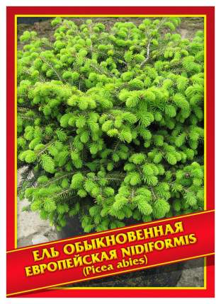Семена Ель Обыкновенная/Европейская «Nidiformis», 10 шт, Симбиоз