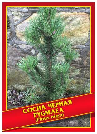 Семена Сосна Черная «Pygmaea», 5 шт, Симбиоз