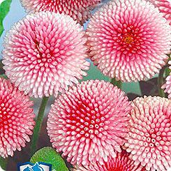 Семена Маргаритка Пышка Розовая, 5 шт, Русский богатырь Гавриш
