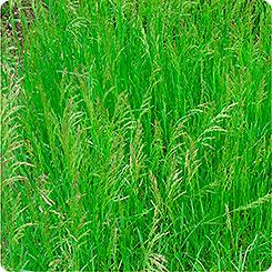 Семена Сидерат Мятлик Луговой, 250 г Зеленый уголок