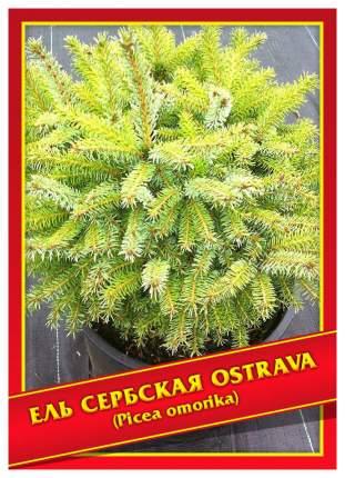 Семена Ель Сербская «Ostrava», 10 шт, Симбиоз