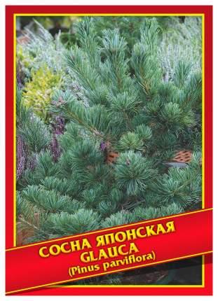 Семена Сосна Японская «Glauca», 5 шт, Симбиоз