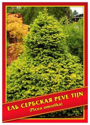 Семена Ель Сербская «Peve Tijn», 10 шт, Симбиоз