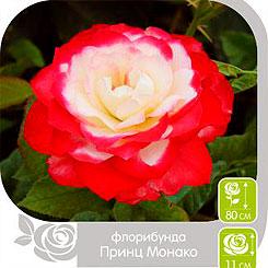 Роза Флорибунда ПРИНЦ МОНАКО, 1 шт, Семена Алтая